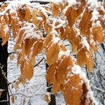Fresh snow on leaves